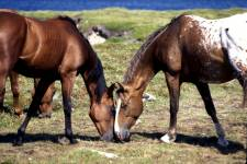 Horses at Meat Cove, Cape Breton Island