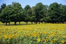 Sunflowers, Nova Scotia, Canada
