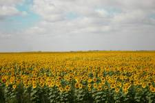 Field of sunflowers, Saskatchewan, Canada