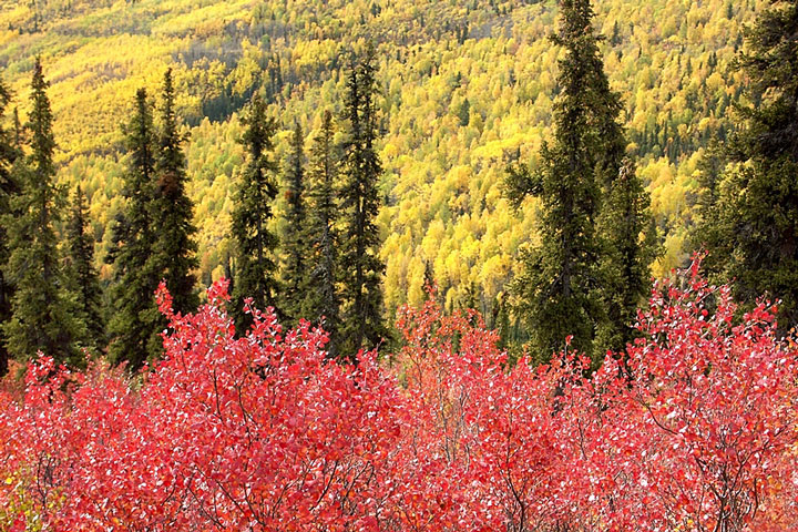 colorful dwarf birch and paper birch